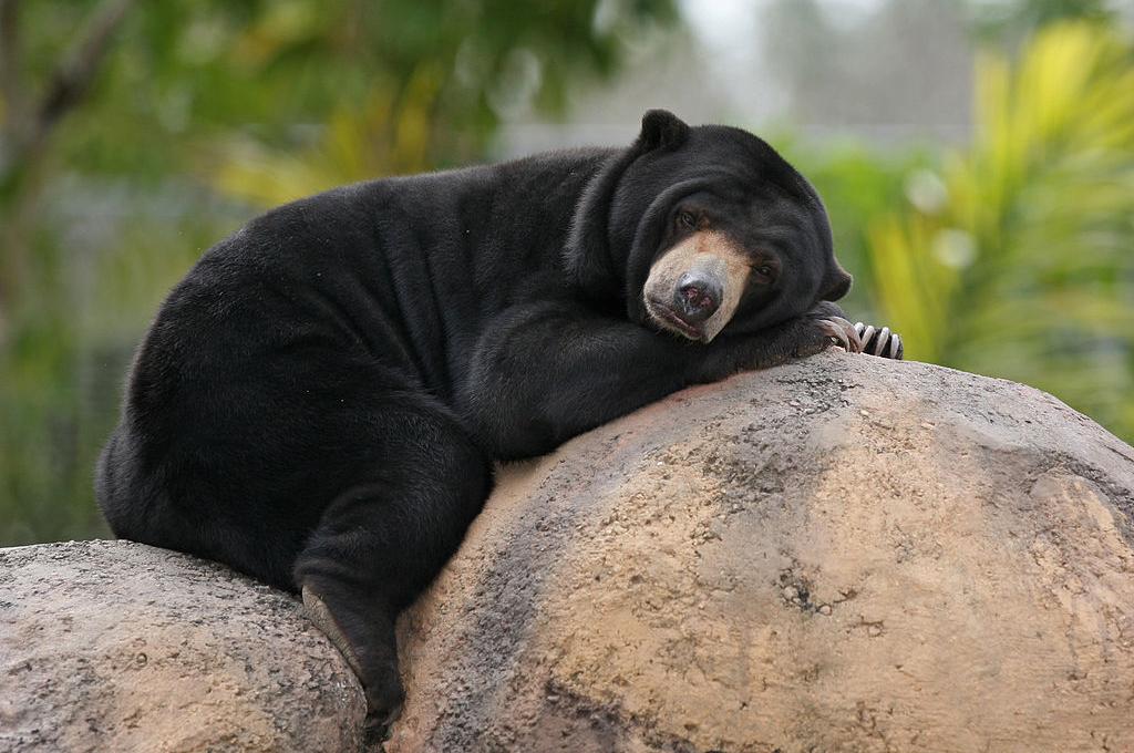 Malaysian Sun Bear